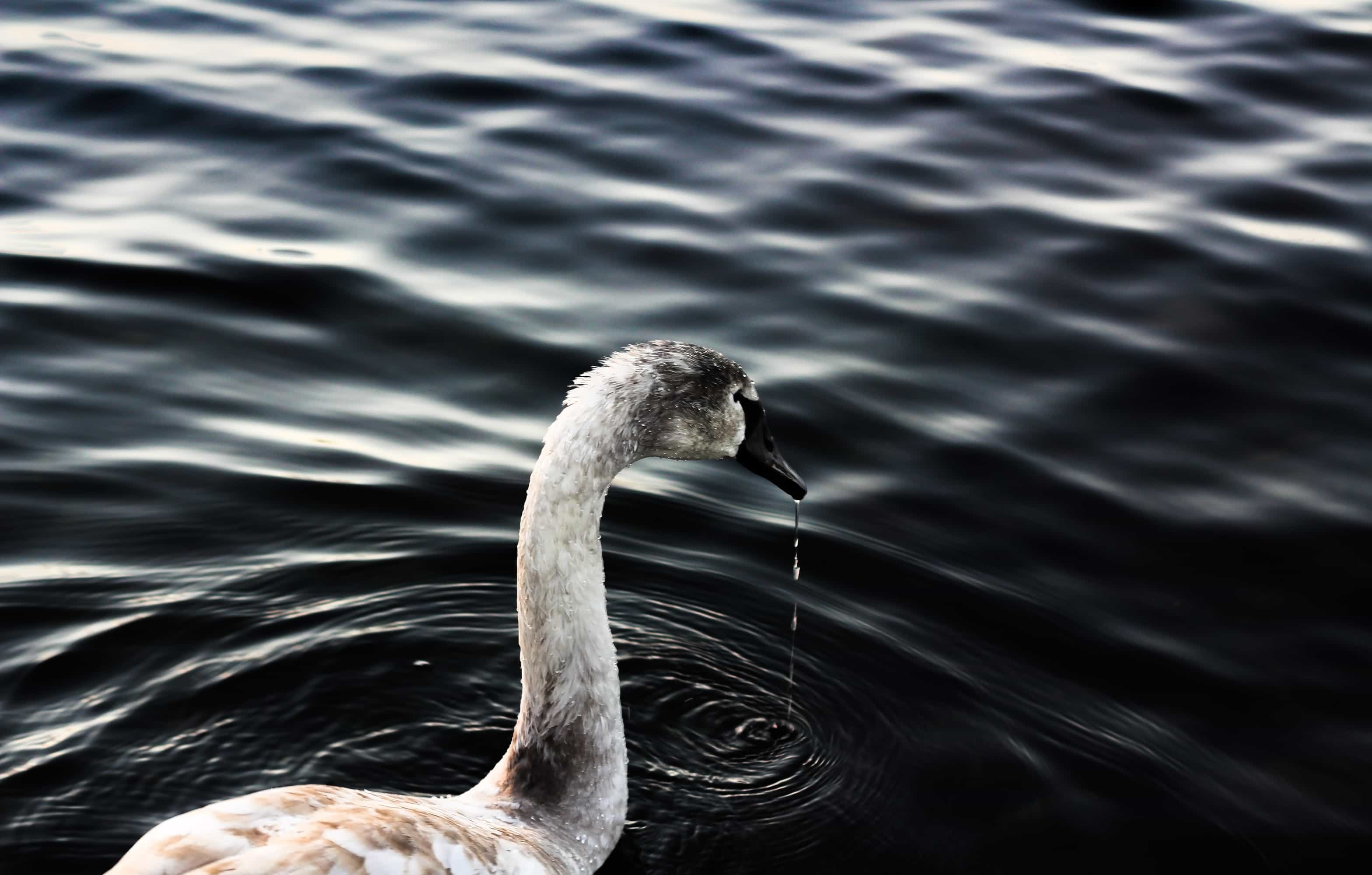 Travel / Nature Swan Lake