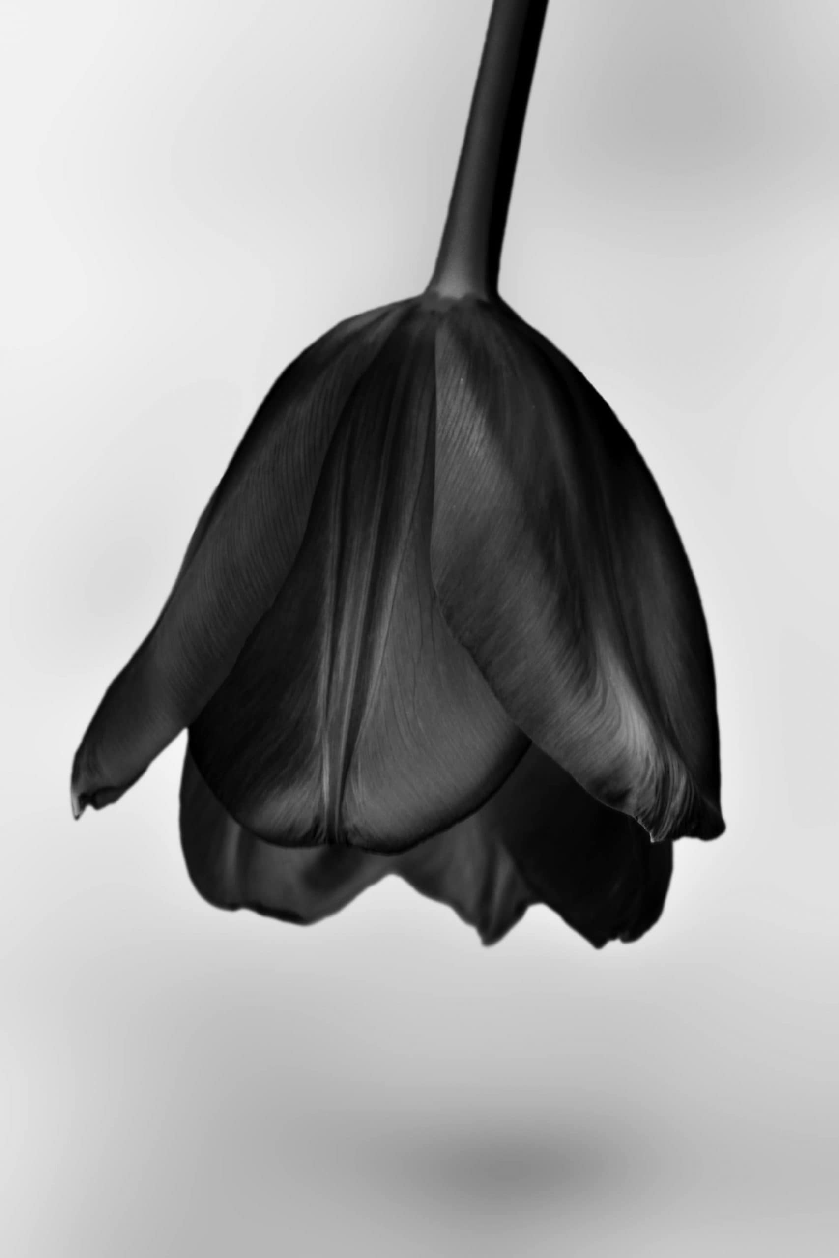 Travel / Nature Black tulip